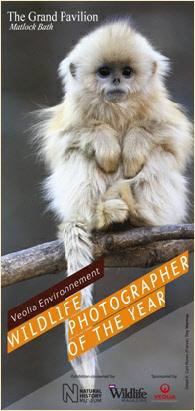 Quinling golden snub-nosed monkey