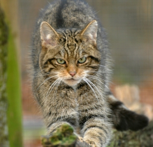 Scottish Wildcat prowling
