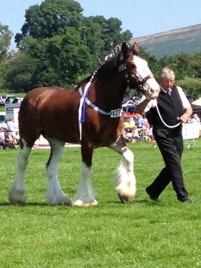 Hope Show Shire Horse