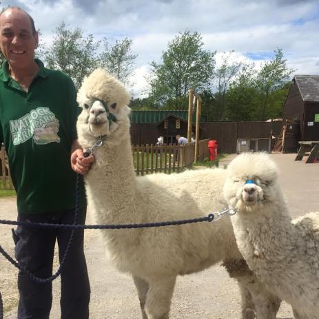 matlock-farm-park-alpaca-walking